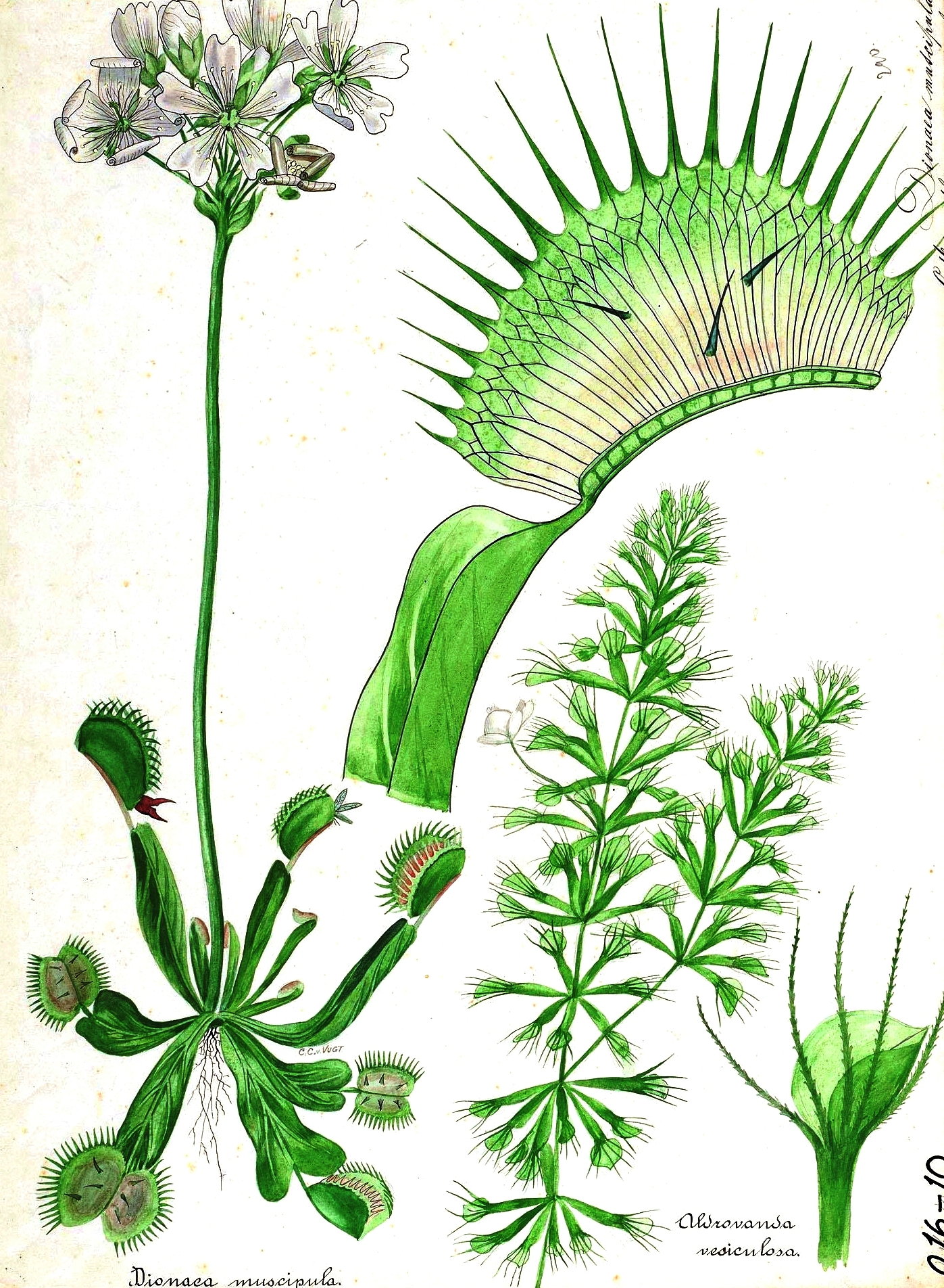 623killian neat ideas cool things page 28 dionaea muscipulaalso know as a venus fly trap ccuart Choice Image
